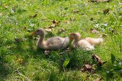 Small ducks Stock Photos