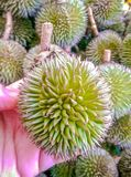 Small durians Forest Stock Image
