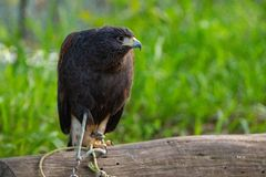 Small eagle sitting on branch royalty free stock photos