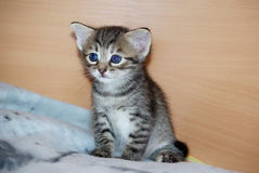 Small eared kitten sitting on the bed. Little big-eared funny kitten woke up and sitting on the bed Stock Image