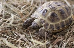 A small, earthen turtle sits on the ground. Dry hay and straw scattered around royalty free stock photos