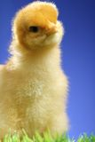 Small easter chick Royalty Free Stock Photos