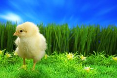 Small easter chicken Royalty Free Stock Photos