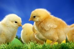 Small easter chicks Royalty Free Stock Photography