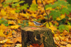 Small eating bird on autumn stub Stock Photo