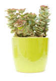 Echeveria. Small echeveria plant in a green pot, isolated on white stock photography