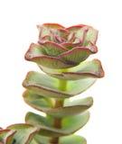 Echeveria Royalty Free Stock Photo