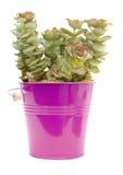 Echeveria. Small echeveria plant in purple bucket, isolated on white stock photo