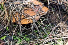 Small edible mushroom greasers under forest needles. Royalty Free Stock Photos