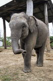Small elephant Stock Photography