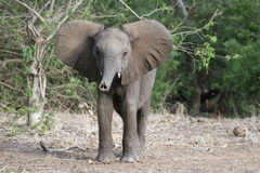 Small Elephant Royalty Free Stock Photo