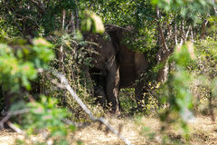 A small elephant calf is hiding behind its mother in Yala nation Stock Image
