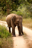 A small elephant calf is hiding behind its mother in Yala nation Stock Photography