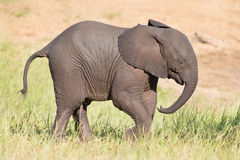 Small elephant calf play in long green grass and having lot of f Royalty Free Stock Photo