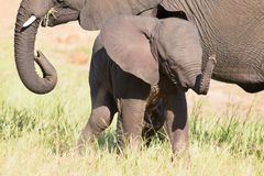 Small elephant calf play in long green grass and having lot of f Royalty Free Stock Image