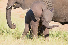 Small elephant calf play in long green grass and having lot of f Stock Images