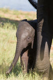 Small elephant calf play in long green grass and having lot of f Royalty Free Stock Images