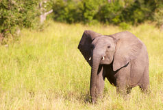 Small elephant calf in savannah Royalty Free Stock Photos