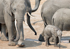 A small elephant calf is surrounded by a herd of elephants in Hwange National Park Royalty Free Stock Photos