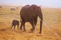 Small elephant calf walking behind his mother. A small elephant calf walking behind his mother in Kenyan savannah stock photos