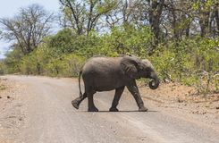 Small Elephant crossing the road in Kruger Park. Small Elephant passing the road, Kruger Park royalty free stock photo