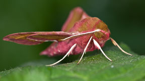 Small Elephant Hawk-moth on green leaf Royalty Free Stock Photo