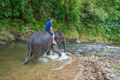 Small elephant with his trainer on the back walks in tropical ri Royalty Free Stock Photography