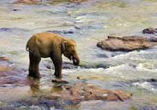 Small elephant. Small Indian elephant. Pinnawela Elephant Orphanage on Sri Lanka Royalty Free Stock Photos