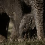 Small elephant with mother Royalty Free Stock Image