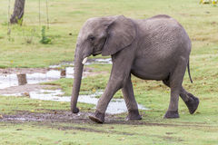 Small Elephant Playing in the Water Stock Images