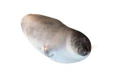 Small Elephant seal Royalty Free Stock Photos