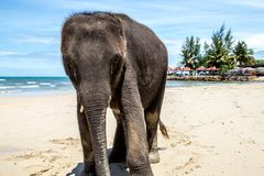Small elephant walks on the beach. Animal stock photos