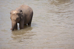 Small elephant in water. Small, baby elephant wading in shallow water. Biological family: Elephantidae stock image