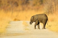 Small elephant withou mother. Young African Elephant lost on the gravel road. Wildlife scene from Africa nature. Stock Photo