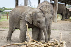 Free Small Elephants Are Playing Stock Photography - 24159952