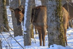 Elk stands behind trees in a snowy field. A small elk stands behind some small trees near Rathdrum, Idaho Stock Images