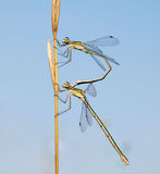 Small Emerald Damselflies mating Royalty Free Stock Photos