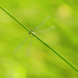 Small Emerald Damselfly Spreadwing Royalty Free Stock Photography