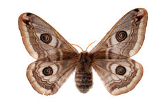Small Emperor Moth Stock Image