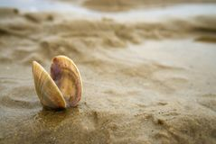 Scallop shell nestling in the sand. Small empty scallop seashell nestling in gritty sand on a beach in Norfolk UK stock photos