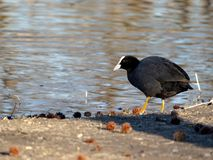 Small Eurasian coot black with red eyes in river stock photo