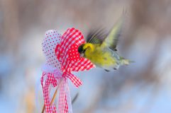 Small eurasian siskin flying near a two hearts for Valentine`s D. Small eurasian siskin Spinus spinus hovers near a two hearts for Valentine`s Day with soft dawn Royalty Free Stock Photo