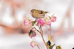Small eurasian siskin Spinus spinus sits on a rose flower branch with buds. Small eurasian siskin Spinus spinus sits on a rose flower branch with buds as an Stock Photography