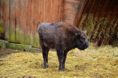 Small european bison Stock Images