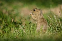 Small european brown ground squirrel in green grass. Small european brown ground squirrel standing in green grass and holding and consuming a piece of dry grass stock photos