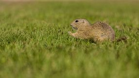 Small european brown ground squirrel in green grassland. Small european brown ground squirrel standing in green grass and holding and consuming a piece of grass stock photo