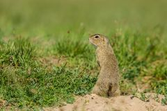 Small european brown ground squirrel. Standing on guard, watching out, green grass background, a sunny spring day at a prairie royalty free stock images