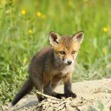 Small european fox Royalty Free Stock Photography