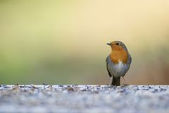 Small European Robin (Erithacus rubecula) Stock Photos
