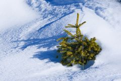 Small evergreen. Almost covered by snow Royalty Free Stock Photography